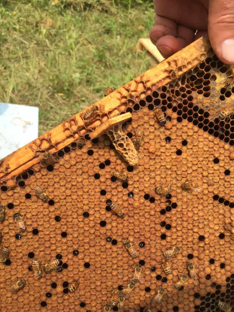 We mount the punched cells on little wood squares with a little hot beeswax.  They come off readily once ripe and can be pushed into a brood frame in a mating nuc.