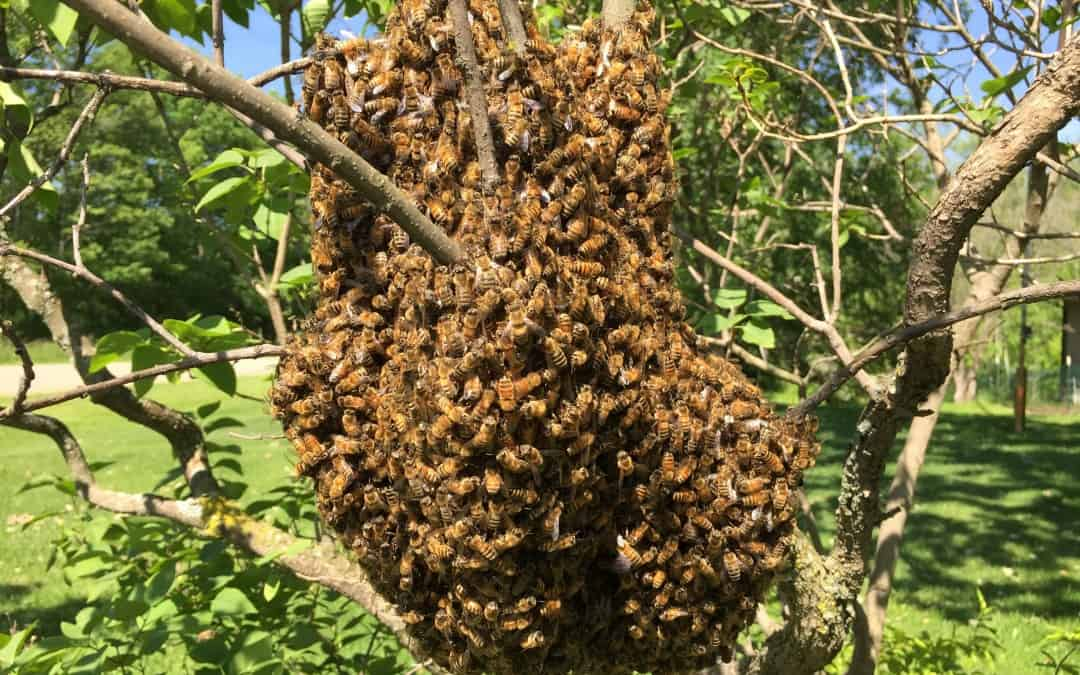 Why Bees Swarm